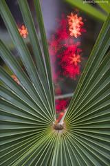 JMC_1619palmsnowflakes2jsm (JayEssEmm) Tags: tower hill botanic garden boylston massachusetts