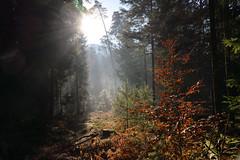 Soleil en sous bois (Croc'odile67) Tags: nikon d3300 sigma contemporary paysage landscape forest forets arbres trees automne autumn vosgesdunord soleil lumière sousbois brume mist bois