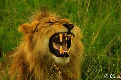 MASAI MARA (RLuna (Instagram @rluna1982)) Tags: kenya africa fauna naturaleza acacia leon safari viaje vacaciones holidays photo canon rluna rluna1982 karibu hakunamatata polepole wildlife serengueti kenianairlines instagram flysafarilink offroad instagramapp photography camera nature masaimara depredador animal