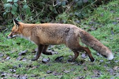 Foraging Red Fox (2 of 2) (KingfisherDreams) Tags: uk nature wildlife fox wildanimal redfox vulpesvulpes winter
