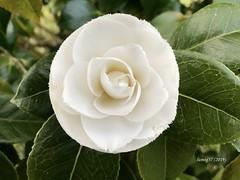 """Camelia japónica """"Alba Fimbriata"""". (lumog37) Tags: camellias camelias flores flowers"""