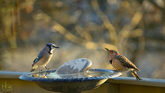 Morning Meeting (H. Fox) Tags: backyardbirds birds birdbath nature northernflicker bluejay flicker morningsunlight wildlife water kentuckywildlife nikon