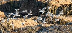 Sanderling on the wing (Steve (Hooky) Waddingham) Tags: animal bird british countryside coast nature northumberland wild wildlife wader winter flight sanderling golden plover photography