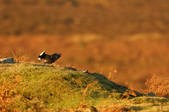 king of the hill (simonrowlands) Tags: blackgrouse tetraotetrix moors moorland y forestedges canon7dmk2canon800mm