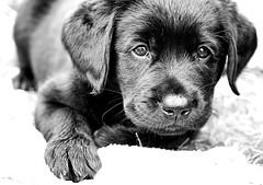 Hank (SkyeHar) Tags: dog perro chien hund labrador labradorretriever bw bokeh blackwhite blackandwhite sonya6300 portrait sel50f18s highkey cute pet animals dogs 50mm