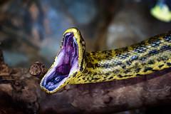 Bedrohlicher Anblick (Roman Achrainer) Tags: schlange viper natter tier tierpark achrainer zoo lissabon