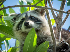 🇺🇸 Raccoon FK 7353 (vickyoutenphoto) Tags: vickyouten raccoon wildlife nature nikon nikond7200 nikkor55300mm floridakeys usa