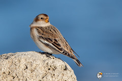 Snow Bunting (Simon Stobart) Tags: snow bunting plectrophenax nivalis perched rocks north east england uk