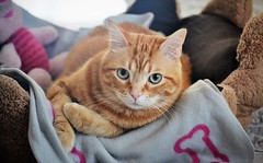 Spritz (En memoria de Zarpazos, mi valiente y mimoso tigre) Tags: cat bed greeneyes orangetabby ginger tabby gato gatto rosso roux red spritzeddu spritz ♥