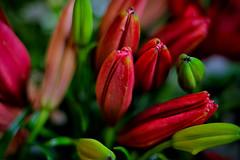 Red tulips (Fnikos) Tags: flowers flores flower nature flor tulip fiori fiore tulipan light shadow red naturaleza color colour verde green colors dark rojo colours natur natura colores outside 50mm shadows dof pentax bokeh outdoor depthoffield depth