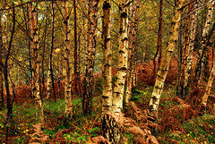 Trees (Explored 05.12.2019) (richwat2011) Tags: oct19 explored explored06122019 inexplore lakedistrict nationalpark britishnationalpark britnatpark cumbria trees silverbirch silverbirches autumn october autumnal 1000views 2000views 3000views 4000views 10faves 25faves 50faves 75faves 100faves greatwood woods forest nationaltrust nikon d200 18200mmvr landscape 150faves 10comments arbole arboles desarbes arbe baume baum albero alberi traer tre trad 5000views 6000views 7000views 175faves 8000views