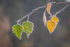 Herfst met een randje winter (aj.lindeboom) Tags: herfst ijs vorst macrocloseup