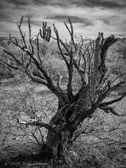 Life and Death (J P Cee) Tags: arizona americansouthwest pentax 645z desert sonorandesert saguaro cactus clouds saltriver saguarocactus blackandwhite blackandwhitephotography digital fa85160 lifeanddeath