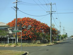 Maryborough - Ponciana tree - Dec 2019 (Big Brisbane Boy) Tags: australia queensland maryborough house street ponciana tree flowers orange frankstreet queenslander