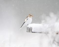Snow Bunting (Ian Galt) Tags: cairngorm mountain snow ice hare snipe bunting scotland winter