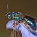 Pure Green Augochlora - Augochlora pura mosieri, John Pennekamp Coral Reef State Park, Key Largo, Florida