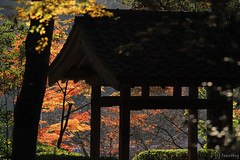Seiryuji Temple (tomosang R32m) Tags: japan fukuoka koga seiryuji temple autumn color leaf fall 福岡 古賀 薦野 清瀧寺 紅葉 秋 autumncolor red yellow forest nature 興山園 もみじ 楓 椛 canon tree 寺 清龍寺