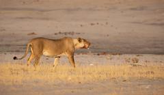 The Lioness Roar (Francesca Bullet) Tags: africa animal one wildlife lion safari zimbabwe lioness wildnature naturewild natural wild lions naturepic wildpic roar yellow grass landscape sand lights wilderness park national walk