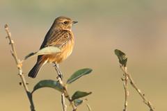 Stonechat (f) (robin denton) Tags: saxicolarubicola stonechat staidans rspb rspbreserve bird wildlife nature yorkshire