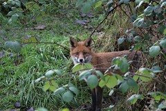 Foraging Red Fox (1 of 2) (KingfisherDreams) Tags: winter uk nature wildlife wildanimal fox redfox vulpesvulpes