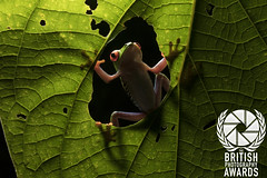 British Photography Awards (Alastair Marsh Photography) Tags: britishphotographyawards bpa award awards redeyedtreefrog redeyedtreefrogs redeyetreefrog redeyetreefrogs costarica rainforest rain forest jungle tropical frog frogportrait frogs trees tree treefrogs treefrog amphibian amphibians animal animals animalsintheirlandscape