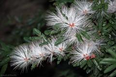 Caliandra Branca (AmeliaBerti) Tags: calliandrabrevipes caliandrabranca arbusto caliandra flor flowers flores