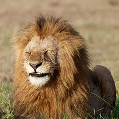 happy lion (renatecamin) Tags: löwe lion kenia kenya afrika africa animal tier wildlife cat