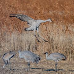 Coming in | Bosque del Apache (sunrisesoup) Tags: sandhill crane bird bosque del apache nm flight bif nature usa newmexico