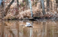 leaving for the night (long.fanger) Tags: americanblackduckanasrubripes flight pond woods