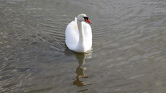 Swan (Bernie Condon) Tags: swan bird hamble river water marina hants hampshire southampton