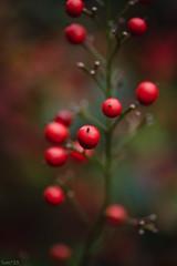 南天 (fumi*23) Tags: ilce7rm3 sony sigma sigma70mmf28dgmacro 70mm macro macrolens a7r3 plant nandina red ソニー 南天 シグマ emount 植物 bokeh dof depthoffield