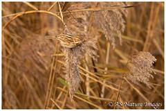 Female Reed Bunting Feeding (www.andystuthridgenatureimages.co.uk) Tags: bunting reed reedbed feeding seeds food female bird slimbridge gloucestershire canon wildlife photography