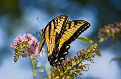 ~Eastern Tiger Swallowtail~ (Paul. (mp13 nhnc)) Tags: swallowtail butterfly butterflybush easterntigerswallowtail