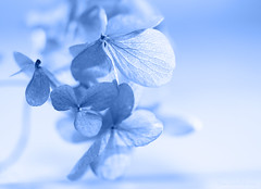 Hydrangea petal blues (Elisafox22) Tags: elisafox22 sony ilca77m2 100mmf28 macro macrolens telemacro lens monochromethursday hmt monochromebokehthursday hmbt monochrome blue petals hydrangea dried bokeh indoors elisaliddell©2019
