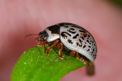 Common Willow Calligrapher Beetle (Bob_noble) Tags: afternoon spring beetle may inat heartlake