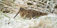 Woodcock (Ian Galt) Tags: cairngorm mountain snow ice hare snipe bunting scotland winter