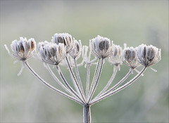 Frosty Morning (jo92photos) Tags: crisp cold frost frosty frostymorning winter wintery umbellifer wildflower seedhead ice icy nature seeds frozen brrr unanimous 8thdec