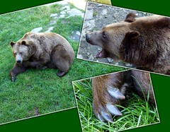 Braunbär / Brown bear (ursula.valtiner) Tags: natur nature tier animal bär bear braunbär brownbear ursusarctosarctos wildpark wildlifepark derwildeberg mautern steiermark styria austria autriche österreich