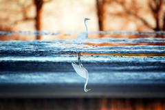 Two Worlds (Wojciech Grzanka) Tags: greategret ardeaalba wildlife reflection symmetry bird