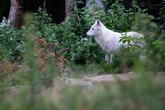 Arctic wolf (Cloudtail the Snow Leopard) Tags: polarwolf wolf tier animal mammal säugetier beutegreifer weiswolf arktischer canis lupus arctos arctic melville island