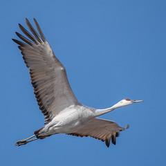 Sandhill | Bosque del Apache (sunrisesoup) Tags: sandhill crane bird bosque del apache nm flight bif nature usa newmexico