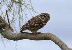 Little Owl --- Athene noctua (creaturesnapper) Tags: birds birdsofprey extremadura spain europe monfraguenationalpark owls littleowl athenenoctua