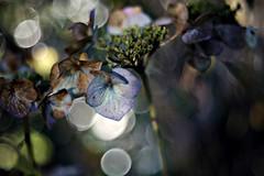 Hortensie in der Wintersonne (Magreen2) Tags: winter light sun licht colours bokeh hydrangea hortensia fadedout oldlens projectionlenspentacon80av28 backlit sonne shining farben gegenlicht verblüht hortensie againstthelight