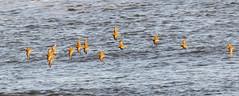 Golden Plovers (Steve (Hooky) Waddingham) Tags: animal bird british countryside coast nature northumberland wild wildlife wader winter flight sanderling golden plover photography