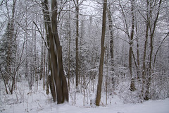 Waiting.. (Lindaw9) Tags: cloudcoveredday trees forest snow northern ontario branches december