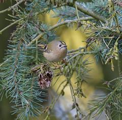 The Little One (KHR Images) Tags: goldcrest regulusregulus uksmallestbird wild sandy bedfordshire rspb wildlife nature nikon d500 kevinrobson khrimages