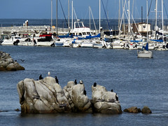 Sitting on a rock in the bay (Kelson) Tags: monterey montereybay bay california ocean animals birds gulls seagulls cormorants pelicans boats sailboats