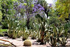 Dans  Le jardin Jnan Sbil  ©  Fès (philippedaniele) Tags: maroc feselbali jardins parc végétation fleurs cactus plantesgrasses