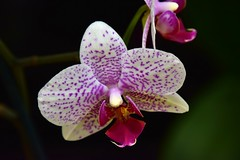 Orchid in november (Ringwald Péter) Tags: macro flowers tamron nikon orchid