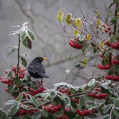 Matin froid (Lucille-bs) Tags: europe france bourgognefranchecomté bourgogne côtedor dijon lackir 500x500 merle nature froid automne oiseau